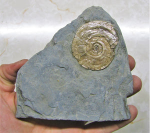 Pale Psiloceras ammonite display piece