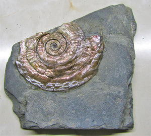 Psiloceras ammonite display piece with subtle iridescence