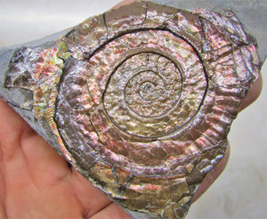 Rainbow iridescent Psiloceras ammonite display piece