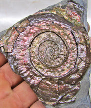 Load image into Gallery viewer, Rainbow iridescent Psiloceras ammonite display piece