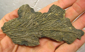Crinoid fossil double head (107 mm)