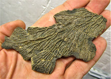 Load image into Gallery viewer, Crinoid fossil double head (107 mm)