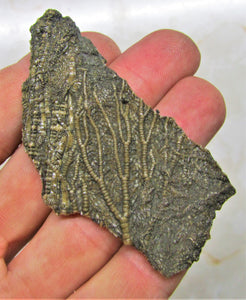Crinoid fossil head (72 mm)