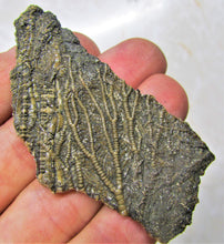 Load image into Gallery viewer, Crinoid fossil head (72 mm)