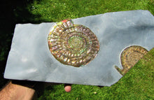 Load image into Gallery viewer, Stunning large green iridescent multi-Caloceras ammonite