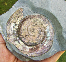 Load image into Gallery viewer, Pale iridescent Psiloceras ammonite display piece