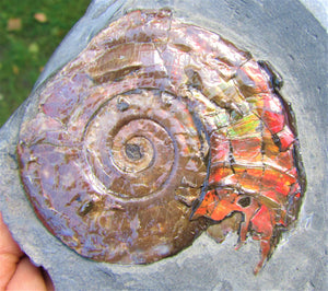Fiery iridescent Psiloceras ammonite display piece