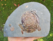 Load image into Gallery viewer, Large iridescent Psiloceras multi-ammonite display piece