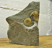 Load image into Gallery viewer, Calcite multi Promicroceras ammonite display piece