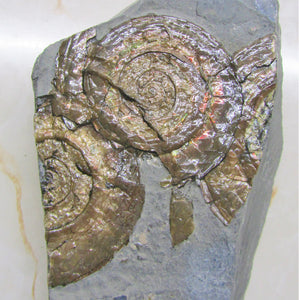 Multi-Psiloceras ammonite display piece