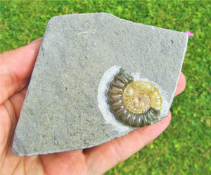 Calcite Promicroceras ammonite display piece (32 mm)