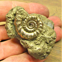 Load image into Gallery viewer, Pyrite multi-Eoderoceras ammonite fossil (55 mm)