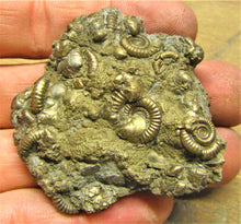 Load image into Gallery viewer, Large pyrite multi-ammonite fossil (55 mm)
