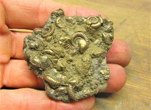 Large pyrite multi-ammonite fossil (55 mm)