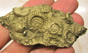 Pyrite multi-ammonite fossil (70 mm)