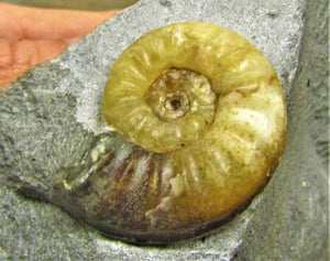 Asteroceras obtusum display ammonite (37 mm)