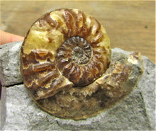 Load image into Gallery viewer, Removable Asteroceras obtusum display ammonite