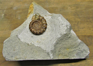Large calcite Xipheroceras ammonite display piece