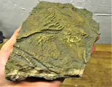Load image into Gallery viewer, Large complete pyrite crinoid (185 mm) <em>Pentacrinites</em>
