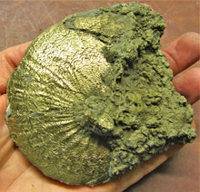 Load image into Gallery viewer, Large Oxynoticeras ammonite (111 mm)