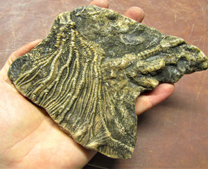 Large crinoid head (173 mm)