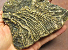 Load image into Gallery viewer, Large crinoid head (173 mm)