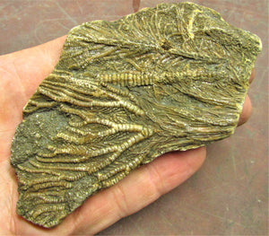 Large crinoid fossil (115 mm)