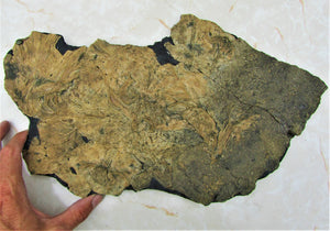 Huge crinoid colony fossil (380 mm)