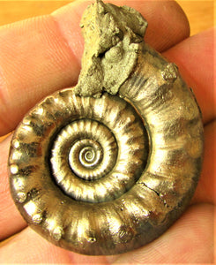 High-quality pathological Eoderoceras ammonite (46 mm)