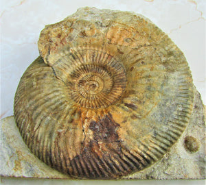 <em>Parkinsonia dorsetensis</em> ammonite display fossil