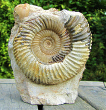 Load image into Gallery viewer, <em>Parkinsonia rarecostata</em> ammonite display fossil