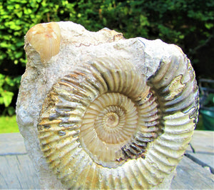 <em>Parkinsonia rarecostata</em> ammonite display fossil