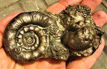 Load image into Gallery viewer, Large Eoderoceras pyrite ammonite (90 mm)
