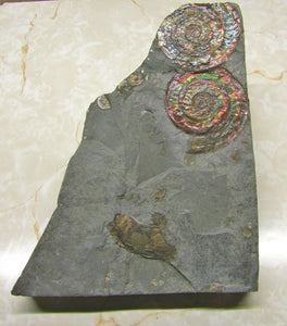 Rainbow iridescent double Psiloceras ammonite display piece
