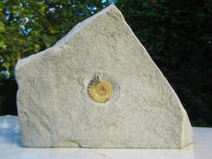 Calcite Promicroceras ammonite display piece (19 mm)