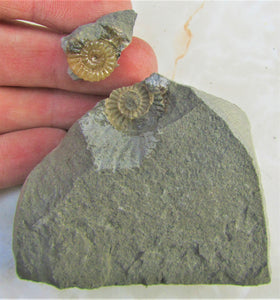 """Popped"" calcite Promicroceras ammonite display piece"