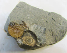 "Load image into Gallery viewer, ""Popped"" calcite Promicroceras ammonite display piece"