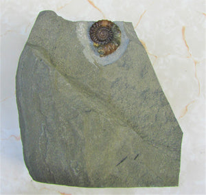 "Large ""Popped"" calcite Xipheroceras ammonite display piece"