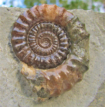 "Load image into Gallery viewer, Large ""Popped"" calcite Xipheroceras ammonite display piece"