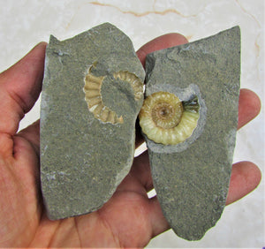 Calcite Promicroceras ammonite display piece (30 mm)