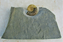 Load image into Gallery viewer, Stunning Asteroceras obtusum 3D display ammonite