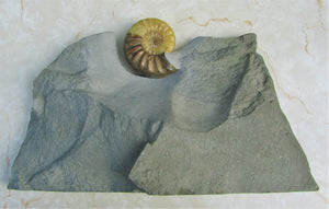 Stunning Asteroceras obtusum 3D display ammonite