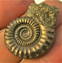 Load image into Gallery viewer, Stunning pyrite Crucilobiceras ammonite (30 mm)