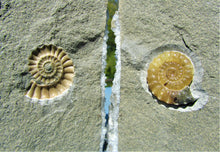 "Load image into Gallery viewer, Amazing large ""Popped"" calcite Promicroceras ammonite display pieces"