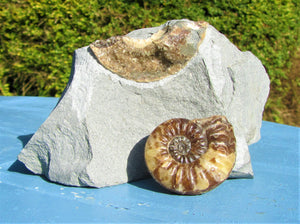 Removable Asteroceras obtusum display ammonite