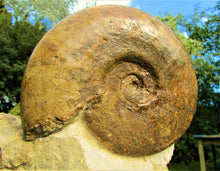 Load image into Gallery viewer, Large Inferior Oolite Leioceras display ammonite (172 mm)
