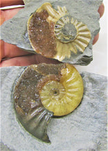 "Load image into Gallery viewer, ""Popped"" <em>Asteroceras obtusum</em> ammonite (50 mm)"