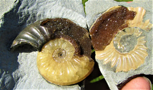 """Popped"" <em>Asteroceras obtusum</em> ammonite (50 mm)"