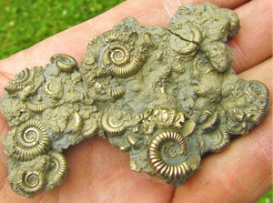 Multi species pyrite multi-ammonite fossil (76 mm)