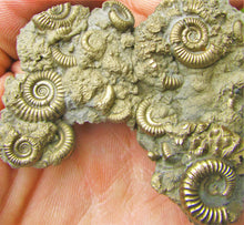 Load image into Gallery viewer, Multi species pyrite multi-ammonite fossil (76 mm)